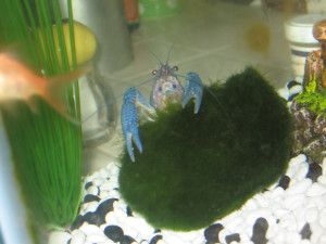 Blue Lobster - \